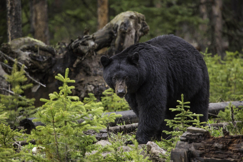Встретиться с медведем в горах: что делать и что нет