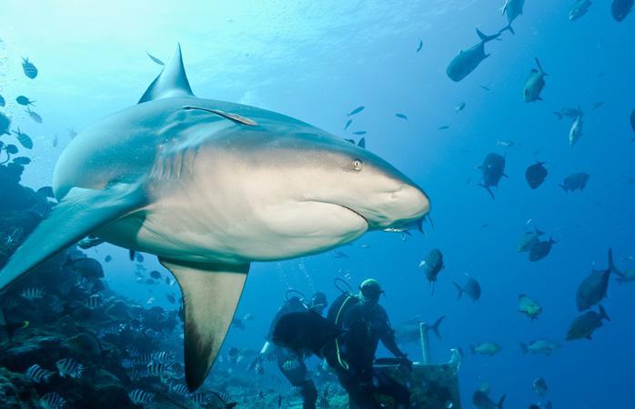 Акулы на Фиджи
